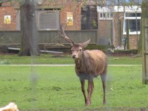 The deer before he lost his single antler.